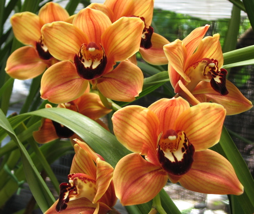 Picture of Cymbidium Mighty Remus